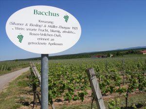 Unterfränkische Rebsorte Bacchus