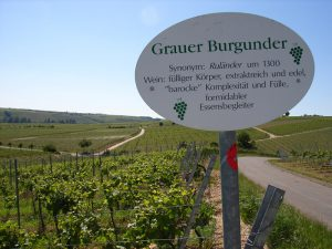 Unterfränkische Rebsorte Grauer Burgunder