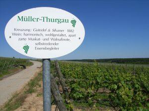 Unterfränkische Rebsorte Müller-Thurgau
