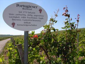 Unterfränkische Rebsorte Blauer Portugieser (Rotwein)