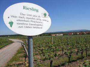Unterfränkische Rebsorte Riesling