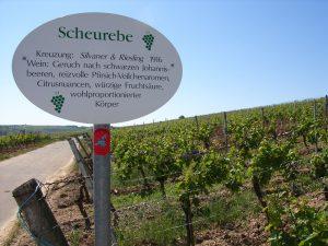 Unterfränkische Rebsorte Scheurebe