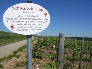 Unterfränkische Rebsorte Schwarzriesling (Rotwein)