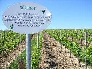 Unterfränkische Rebsorte Silvaner