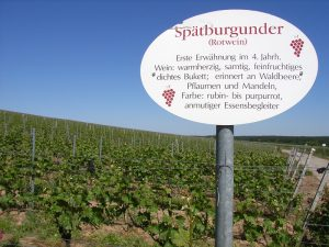 Unterfränkische Rebsorte Spätburgunder (Rotwein)